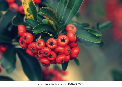 ?unch of red berries. Chinese firethorn
