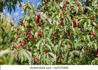 The red berries of a cornel hanging on a bush.