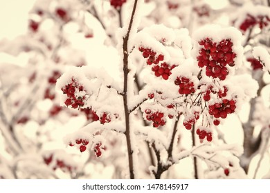 Red berries covered with snow. Rowan bunches on snowy tree. Ashberry in winter on natural background. Christmas or new year concept. Winter, nature, plant, snowfall, frost.
