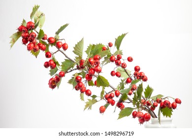 Red berries of Crataegus monogyna, known as hawthorn or single-seeded hawthorn may, mayblossom, maythorn, quickthorn, whitethorn, motherdie, haw isolated on white