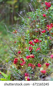 Red berries in forest in a summer day
