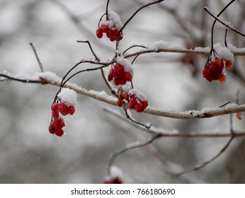 red berries frozen in snow