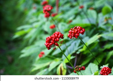 Red berries in ginseng field