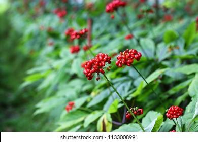 Rote Beeren auf dem Ginseng-Feld