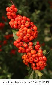 Red berries growing in a park. Summer season.