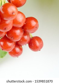 Red berries of a Guelder Rose, scientific name Viburnum opulus Roseum, isolated on a white background stock photo