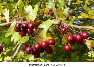 Red berries of hawthorn monogyna (Crataegus), also named quickthorn, thornapple or whitethorn. Shrub and medicinal plant - City Park Black Sea, Garbsen, Germany