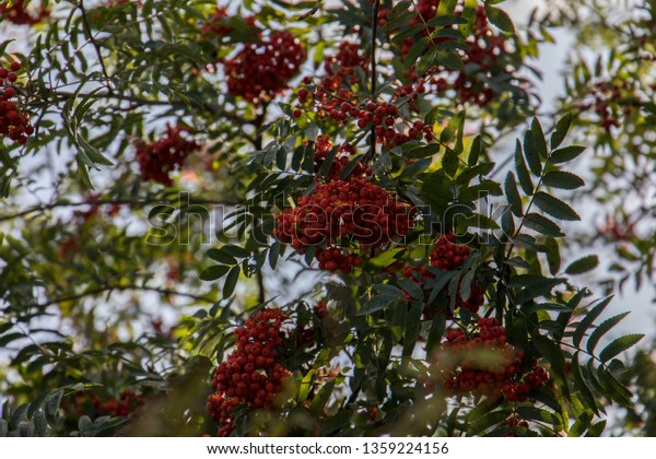 Red Berries High Tree Small Green Stock Photo Edit Now 1359224156