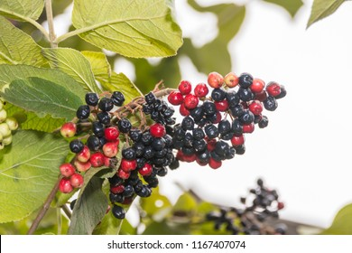 Red berries (lat. Ariona) in red and black on the shrub in summer