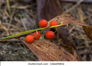 Red berries of the Lily of the valley in a forest in Russia