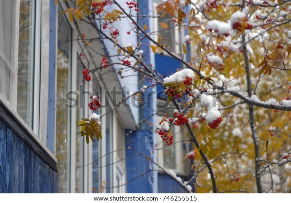 Red berries of mountain ash, branches with yellow leaves covered with white snow, against a blue wall of the house with windows. The first snow in autumn, in October. Autumn and winter background