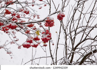 Red berries of mountain ash, covered with white frost