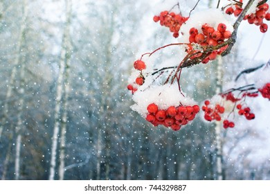 Red berries of mountain ash in the snow for Christmas. Place for text