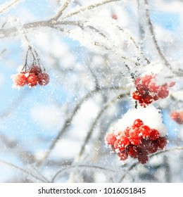red berries on a branch in winter
