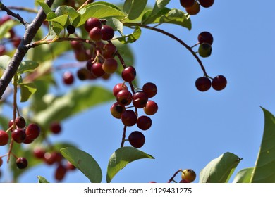 red berries on branches against blue summer sky