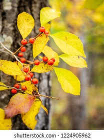 Red berries on a bush in the woods with yellow leaves and nearby trees