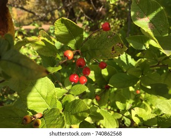 Red berries on shadowy green leaves. A shrub with red fruit.