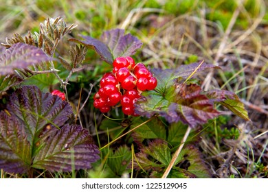 Red berries on a stone bramble rocky on the tundra. rubus saxatilis