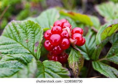 Red berries on a stone bramble rocky on the tundra. rubus saxatilis