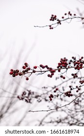 Red berries on a tree during winter