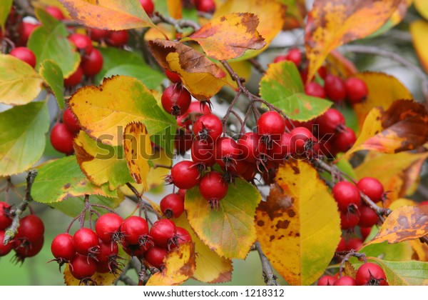Red Berries On Tree During Autumn Stock Photo Edit Now 1218312