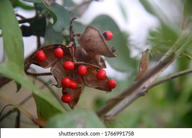 Red berries on  tropical shrub