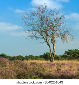 Red berries and purple heather