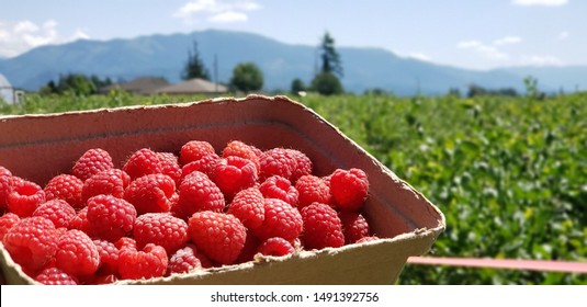Red Berries/ Raspberries Held against a field of Raspberry Bushes in a Cardboard Carton with Mountains in the Background.