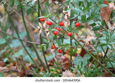 Red berries Ruscus colchicus in the autumn forest