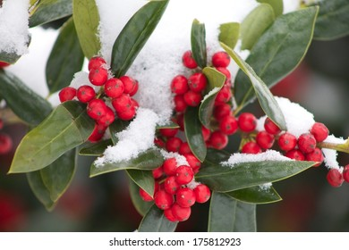 Red berries in the snow close up