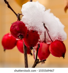 Red berries in the snow. The fruit of the Apple tree (malus floribunda) covered with snow in the garden