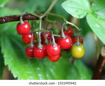 Red berries of Solanum dulcamara, bittersweet nightshade or Amara Dulcis.