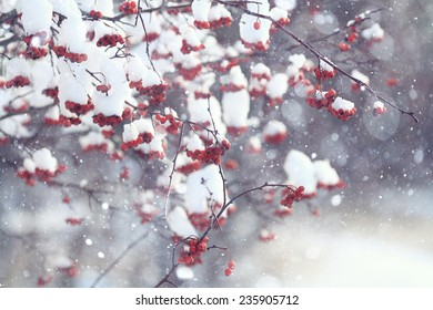 red berries under snow, snow, background, mountain ash, hawthorn