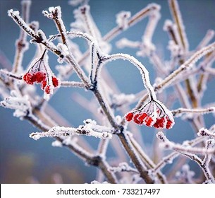 red berries of  viburnum on  branch, covered with hoarfrost, close up