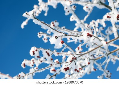 red berries of viburnum on branches in the snow