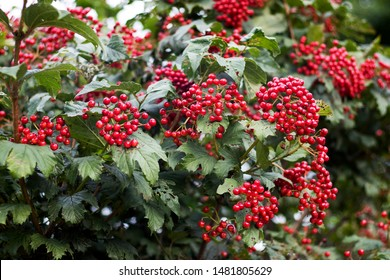 Red berries of viburnum on a bush in the forest. Branch of red Viburnum in the garden. Viburnum berries and leaves of viburnum in summer outdoors.