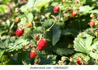 Red berries of wild strawberry or woodland strawberry or Alpine strawberry or Carpathian Strawberry or fraisier des bois (Fragaria vesca)
