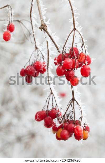 Red Berries Winter Stock Photo Edit Now 204236920