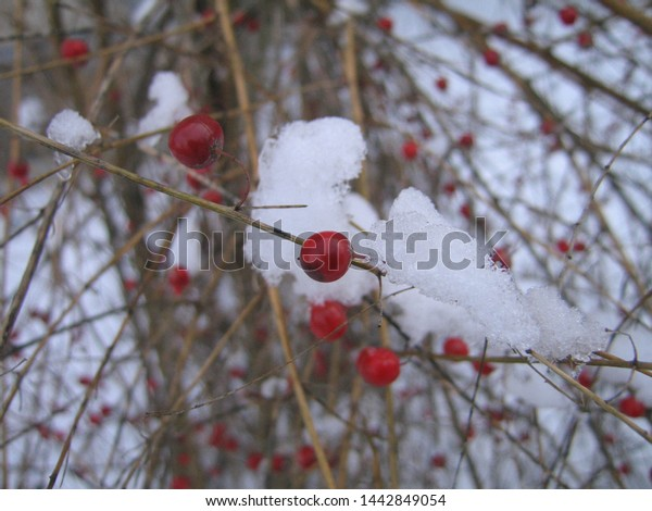 Red Berries Winter Snow Royalty Free Stock Image