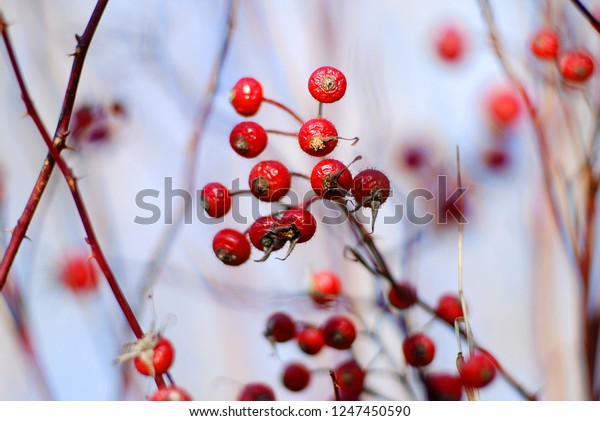Red Berries Winter Time Stock Photo Edit Now 1247450590
