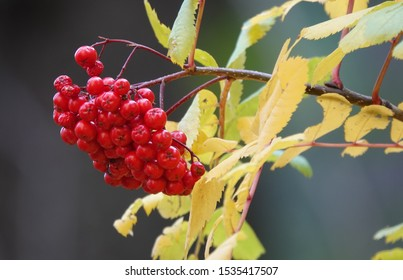 Red Berries with Yellow Leaves
