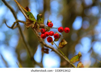 Red berry fruit of Sorbus aucuparia, commonly called rowan and mountain-ash, the species of deciduous tree or shrub in the rose family. In English folklore,  were believed to ward off evil spirits.