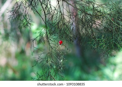 A red berry on the hanging branch of a tree stands out against the surrounding greenery. The leaves on the tree are needle-shaped.