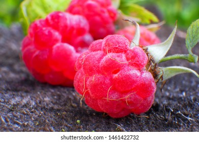 Red berry wild forest raspberry closeup