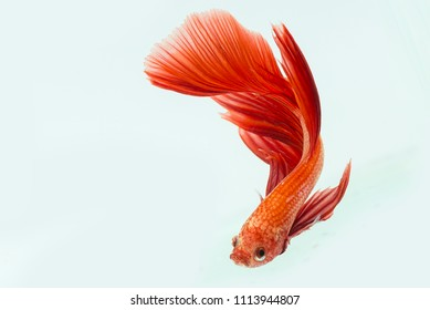 Red Beta Fish, Beta Fish, decorative fish