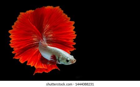 "Red betta fish ""Fancy Halfmoon Betta"" The moving moment beautiful of Siamese Fighting fish in Thailand. Betta splendens Pla-kad (biting fish), Rhythmic of Betta fish isolated on black background"