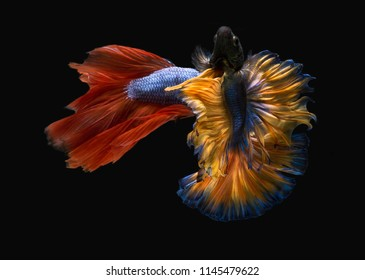 Red betta and Yellow betta fishes with fighting action, siamese fighting fish, betta splendens (Halfmoon betta) isolated with black background