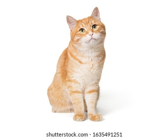 Red big cat sitting on a white background