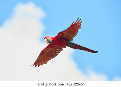 Red and big south american parrot  Ara macao, Scarlet Macaw, isolated amazonian bird in flight, outstretched wings, long red tail against cloudy blue sky. Manu National Park, Peru, Amazon basin.