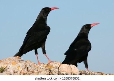 Red billed Chough, Pyrrhocorax pyrrhocorax, pair of birds standing on a rock